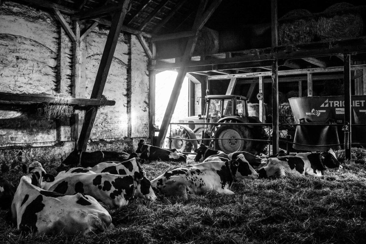 Blick in den Kuhstall der Familie Schulze in Görzig
